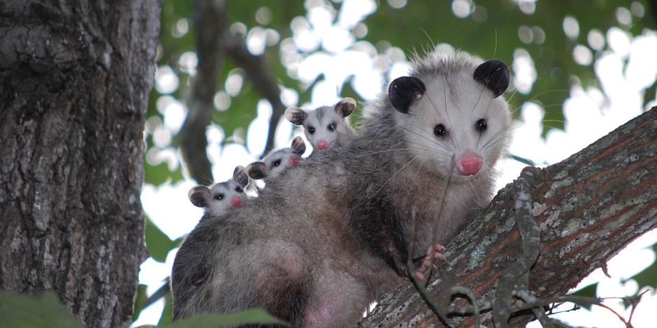 pests possums